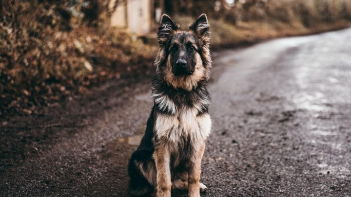 Are German Shepherds Aggressive? How to Deal With Such Behavior