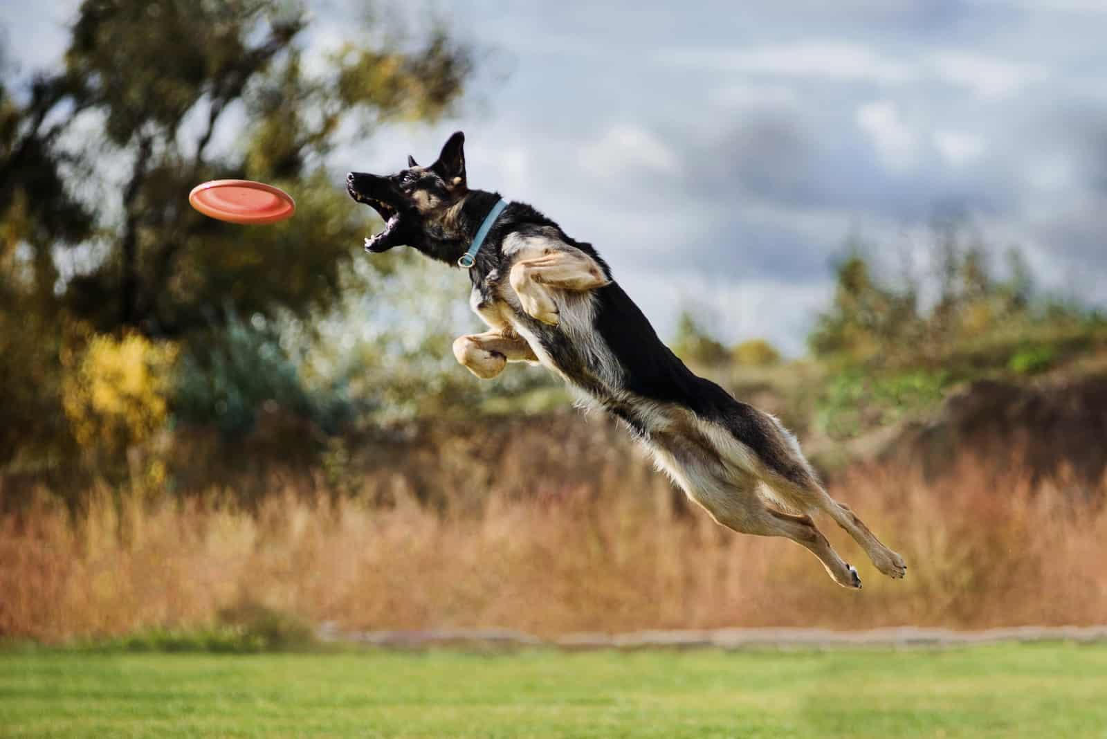 a German Shepherd catches a frisbee