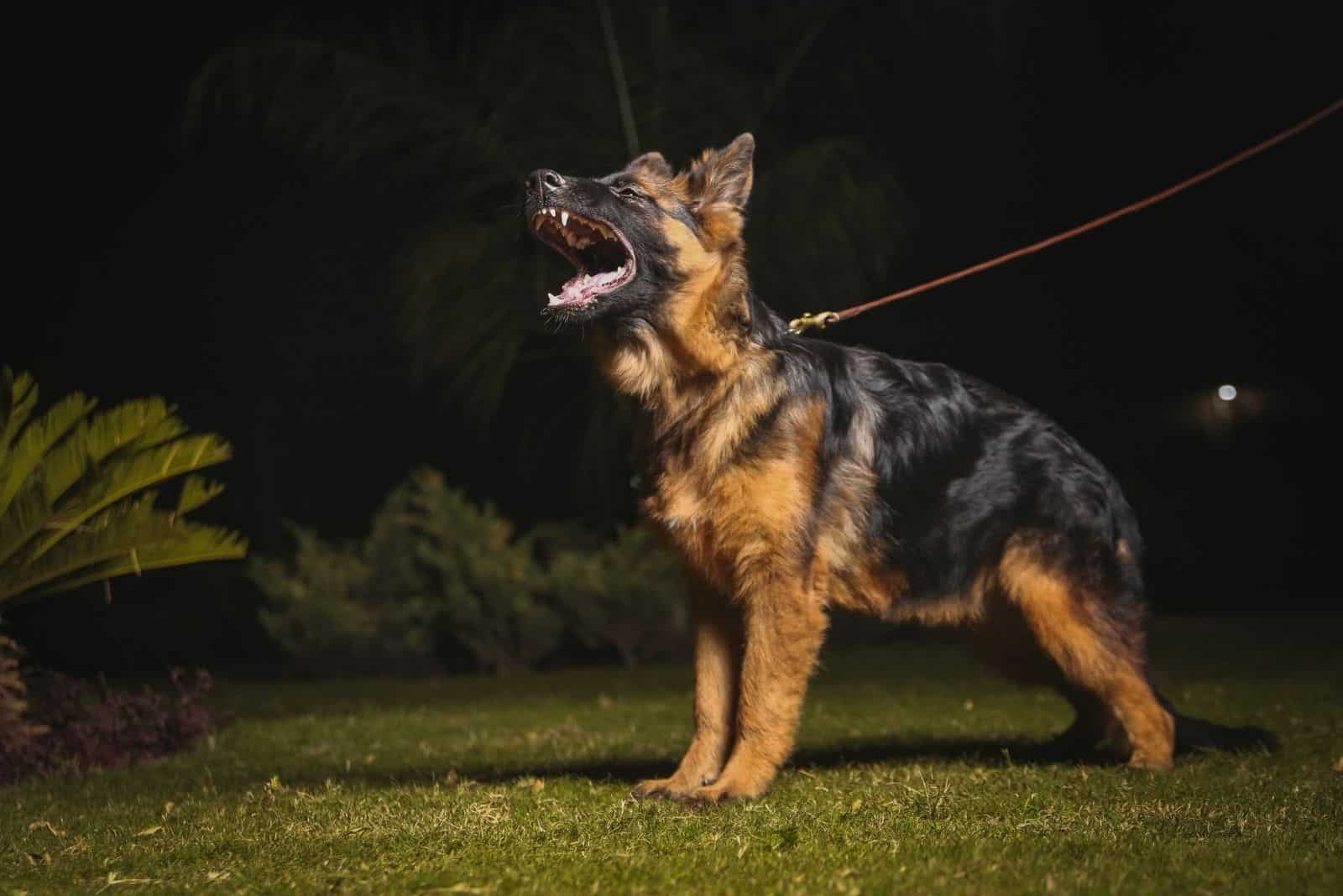 a German Shepherd dog barks