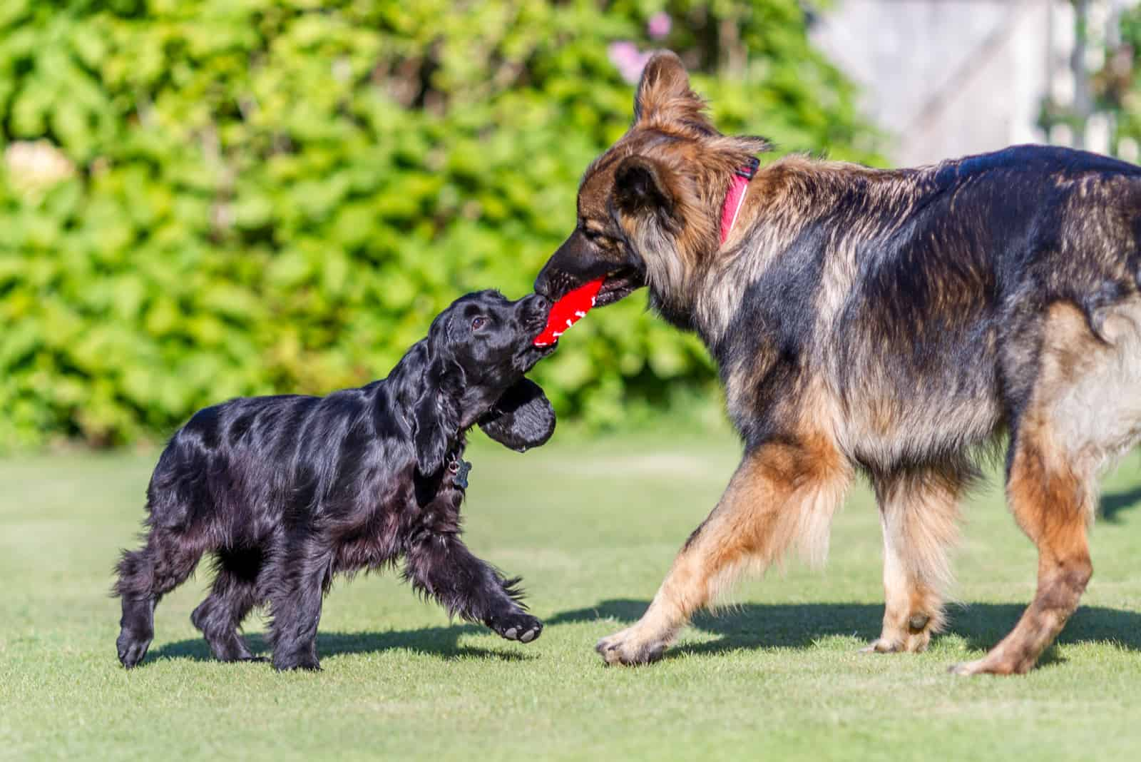 a German Shepherd plays with a poodle
