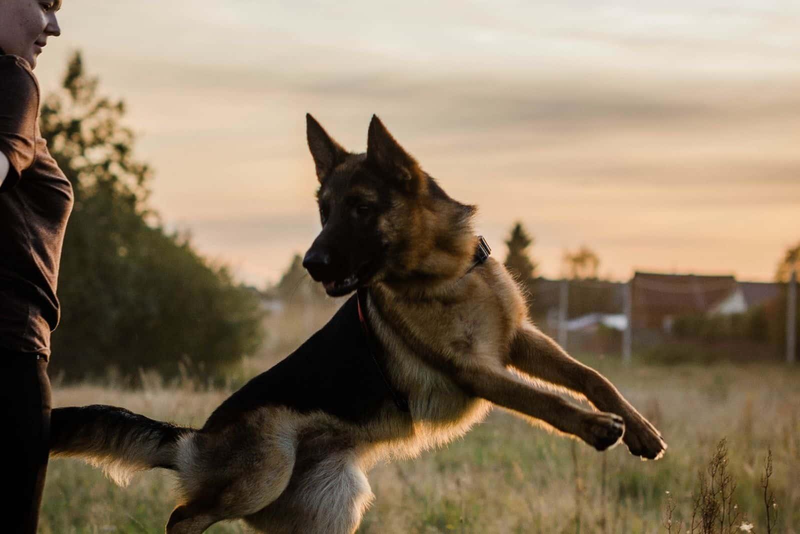 a woman trains a German Shepherd dog