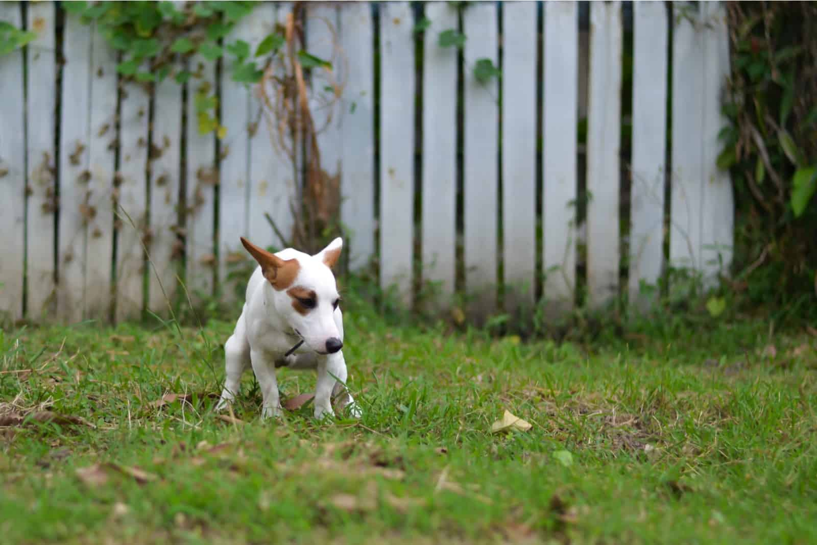 dog defecates on the grass