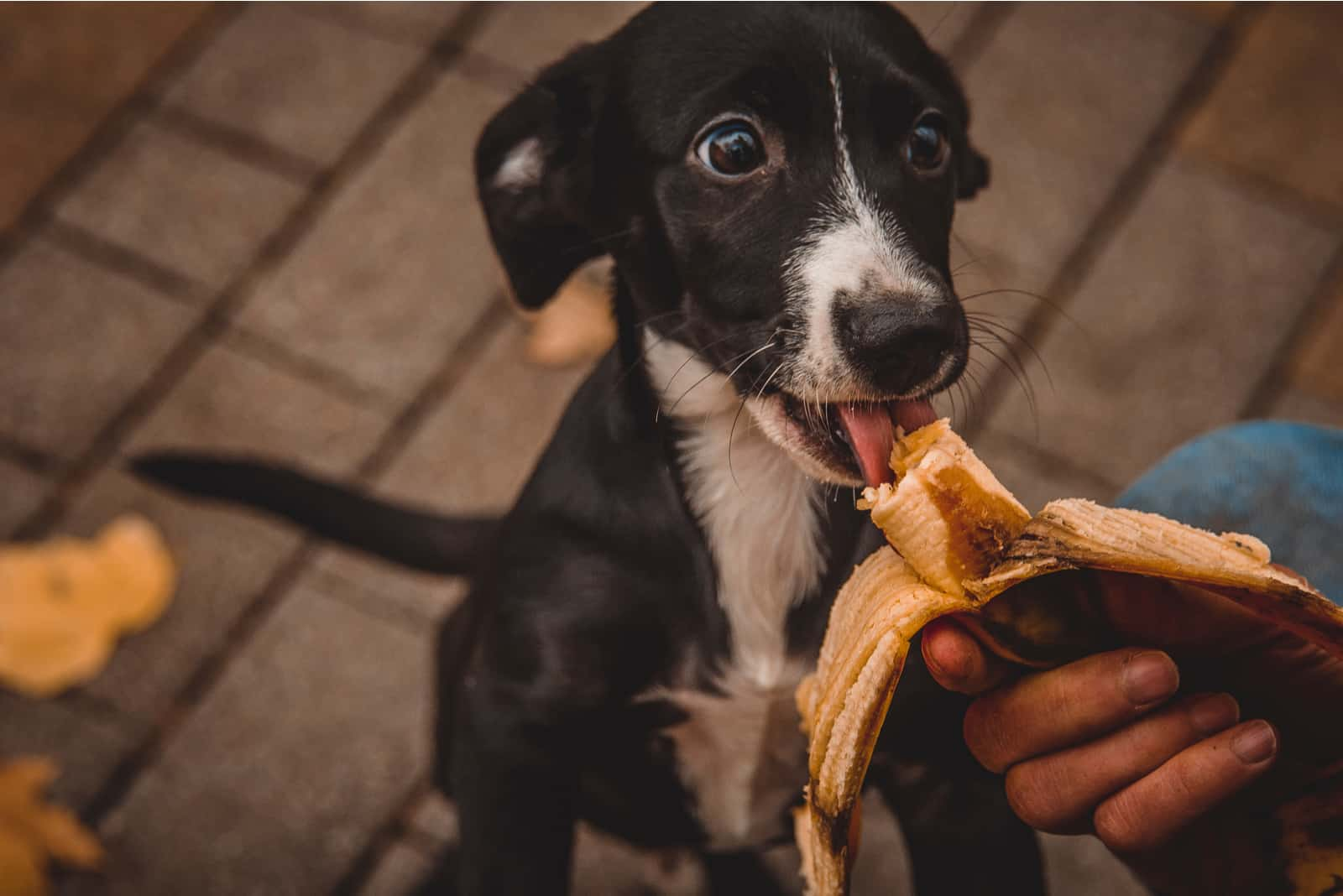 dog eats a banana