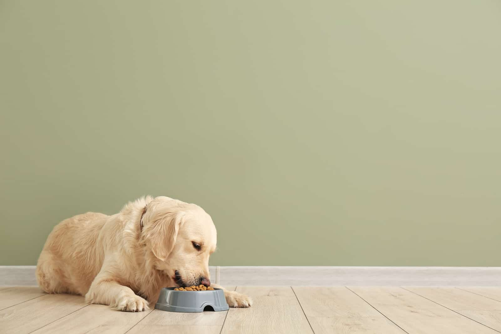 labrador dog eats from a bowl of crackers