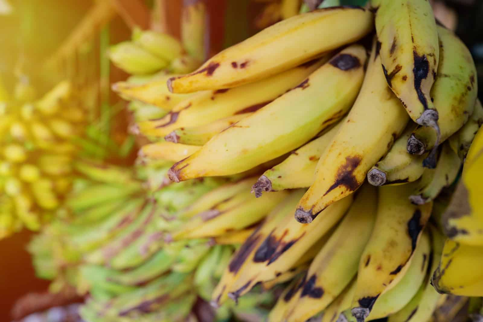 plantain ripened on the branches