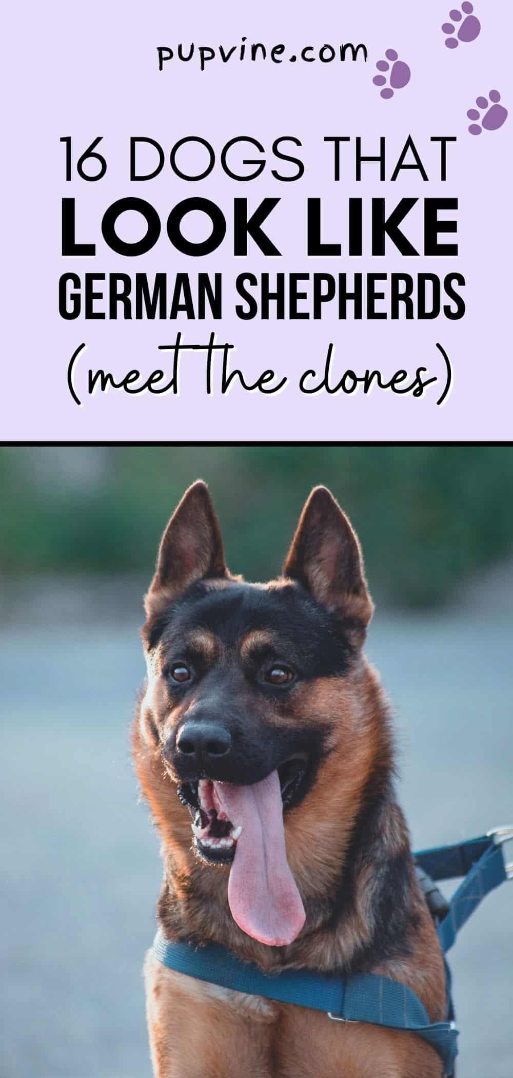16 Dogs That Look Like German Shepherds (Meet The Clones)