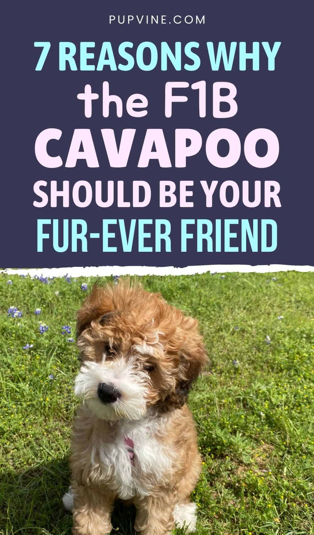 7 Reasons Why The F1B Cavapoo Should Be Your Fur-ever Friend