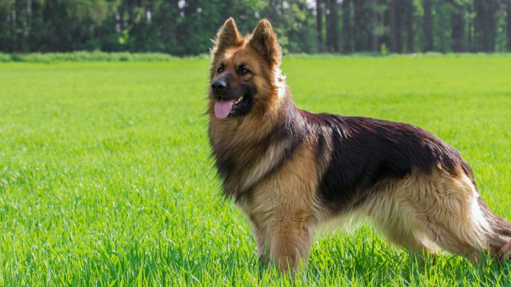 A German Shepherd Barking: A Perfect Guide to Train Your GSD