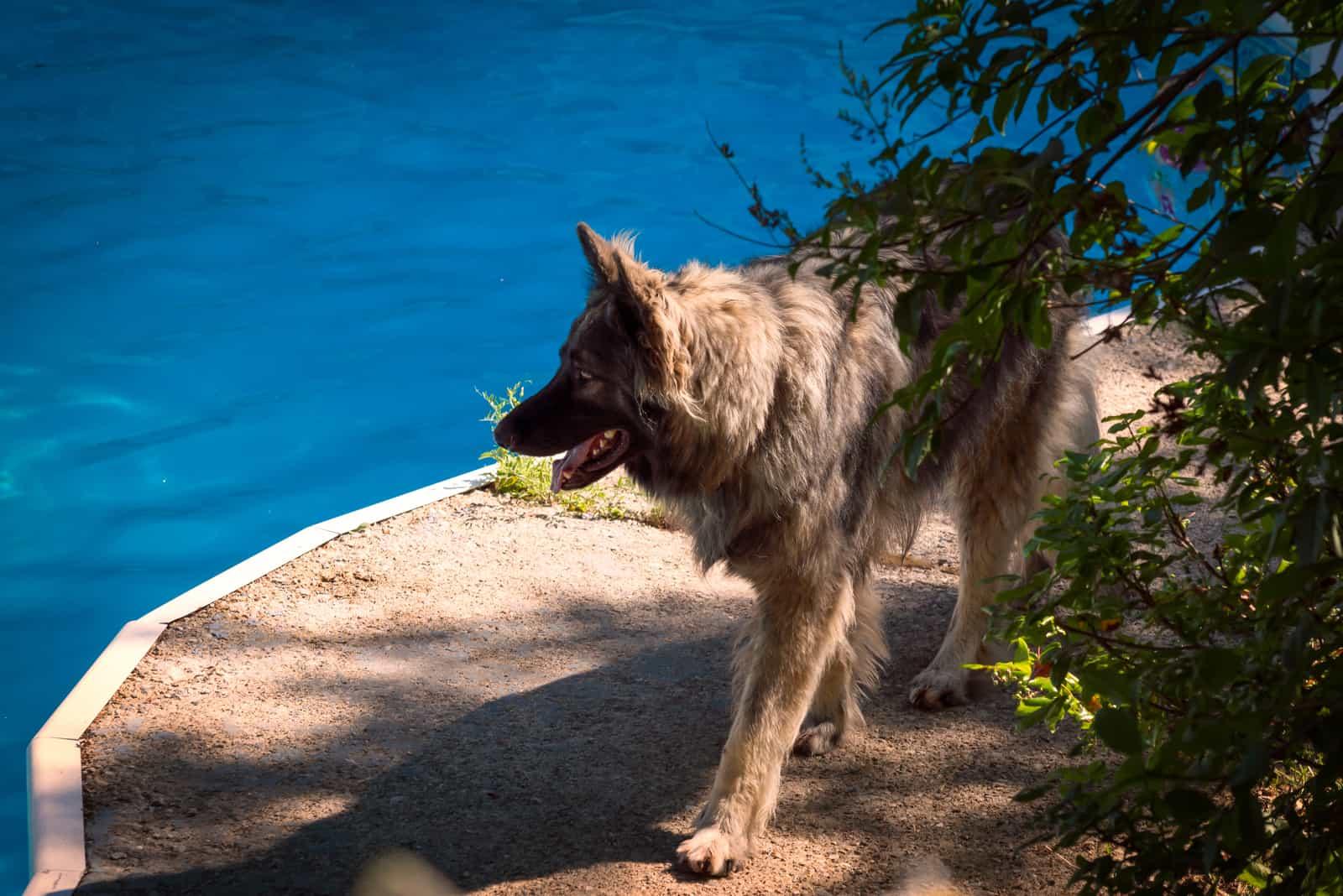 A Shiloh Shepherd patrols a swimming pool