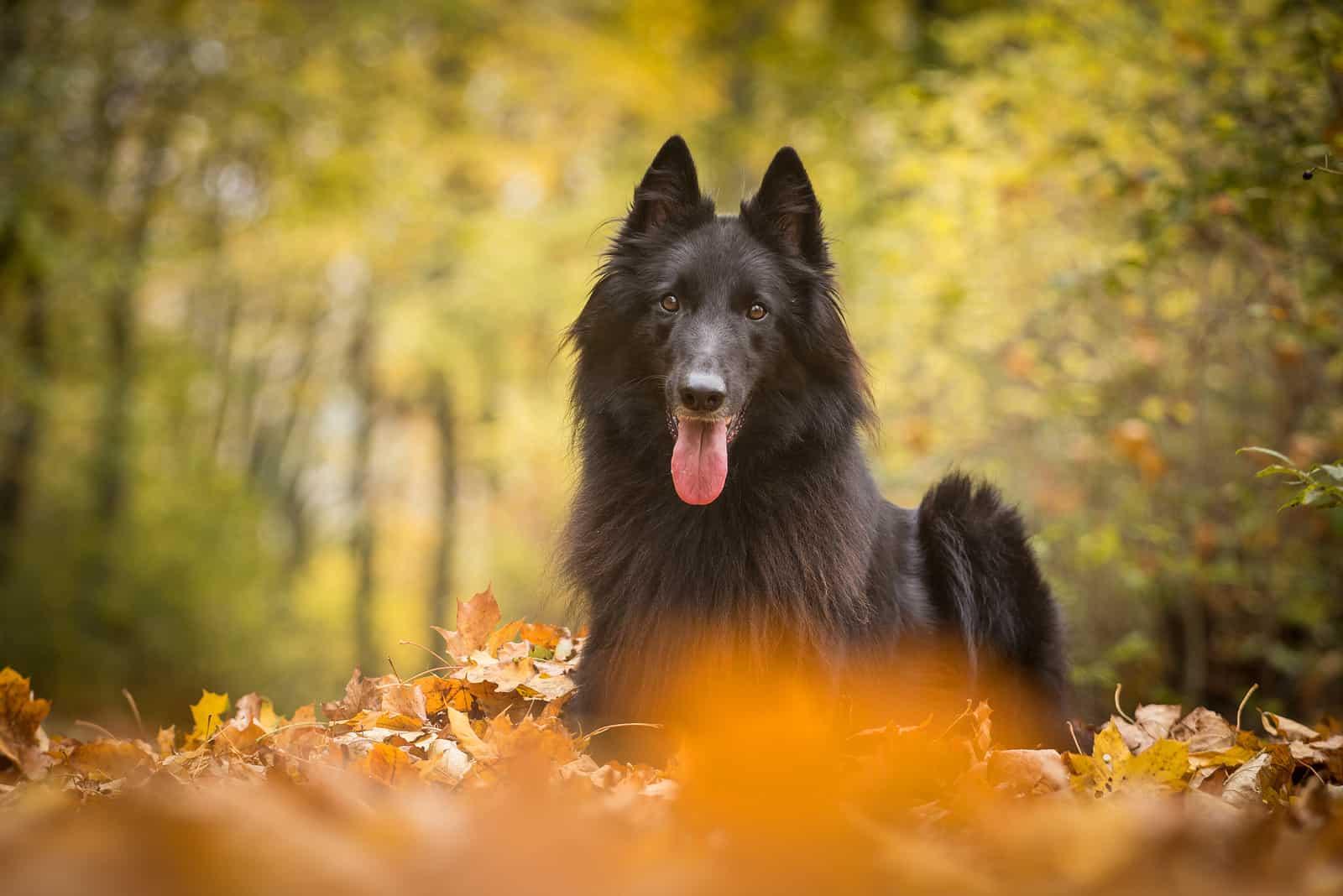 Adorable Black Belgian Shepherd Dog Groenendael lies in the leaves