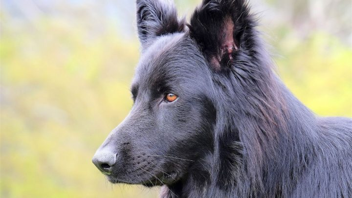 Blue German Shepherd: All About This Unique Dog Breed