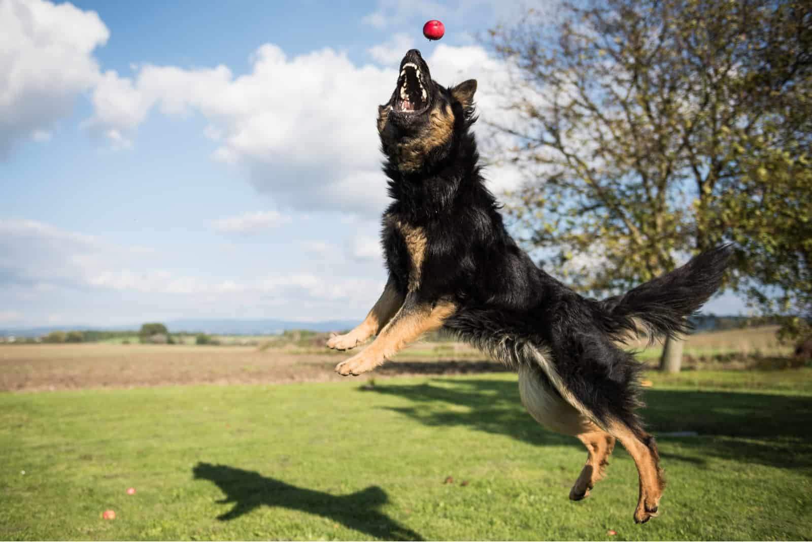 Bohemian Shepherd jumps and catches apples in a garden