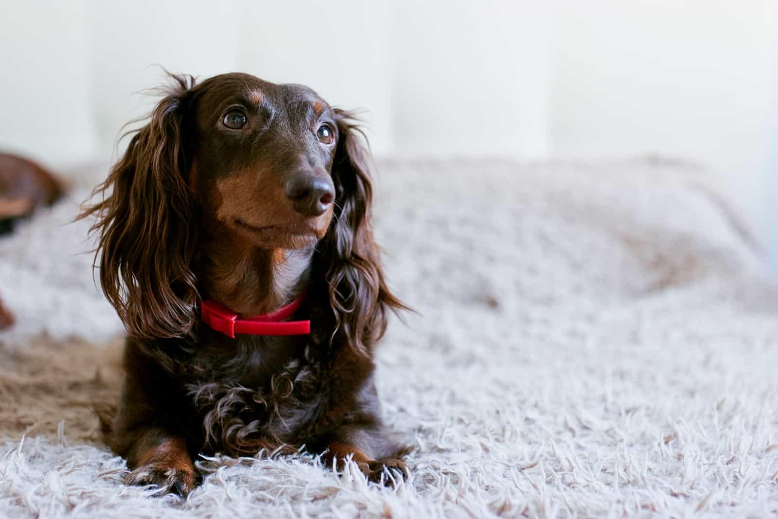 Brown dachshund lying in fluffy bed