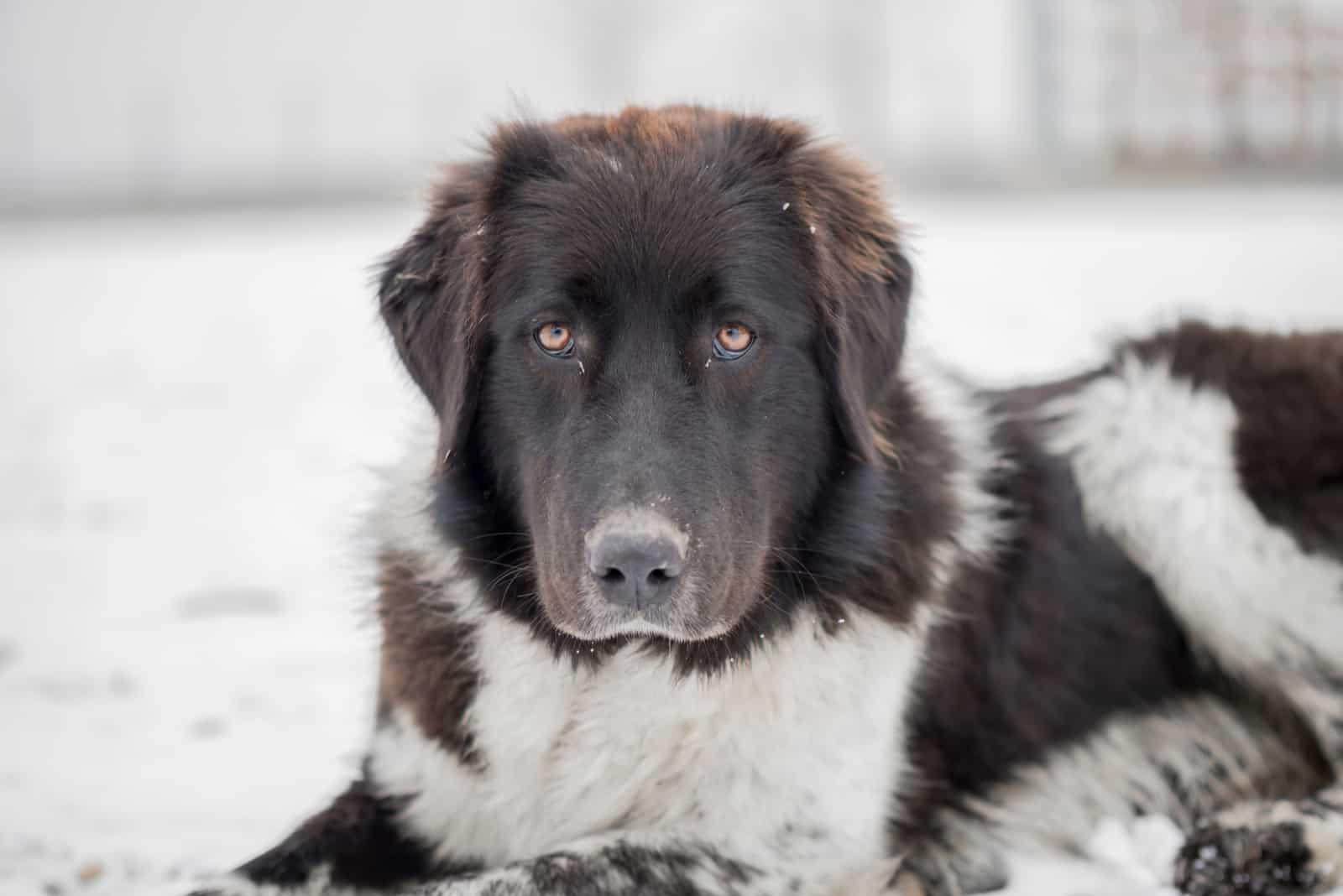 Carpathian Shepherd lies in the snow