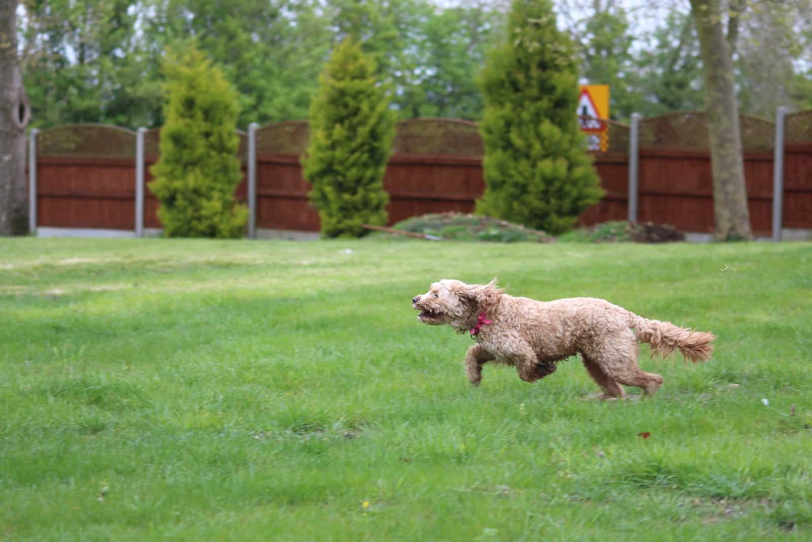 Cavapoo puppy runs around the garden