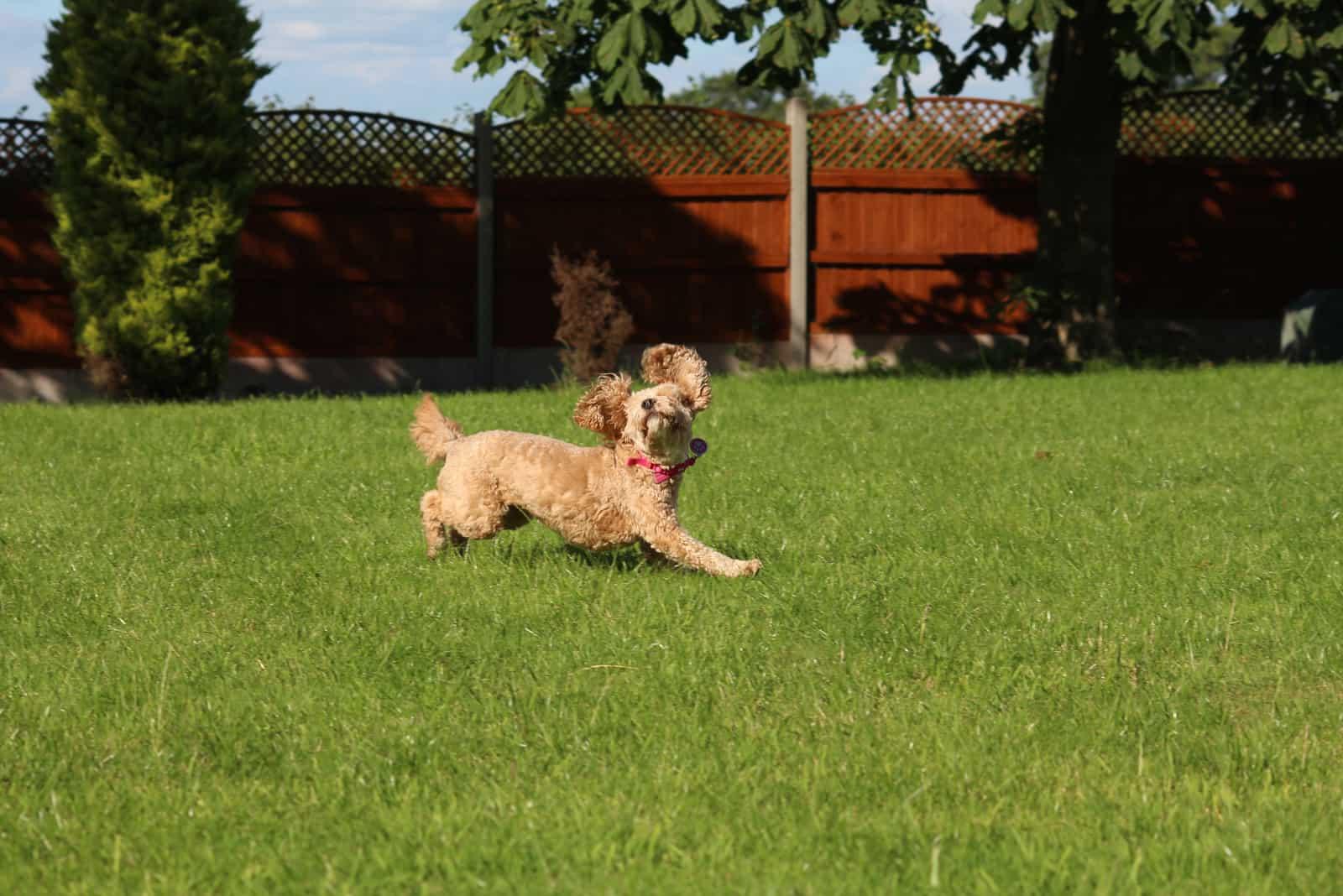 Cavapoo runs around the garden