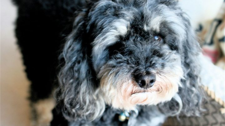 The Merle Poodle: What Lies Behind This Dog Breed