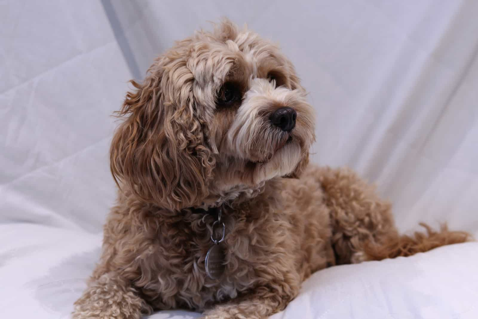 Cute cavapoo dog lying down against a white background