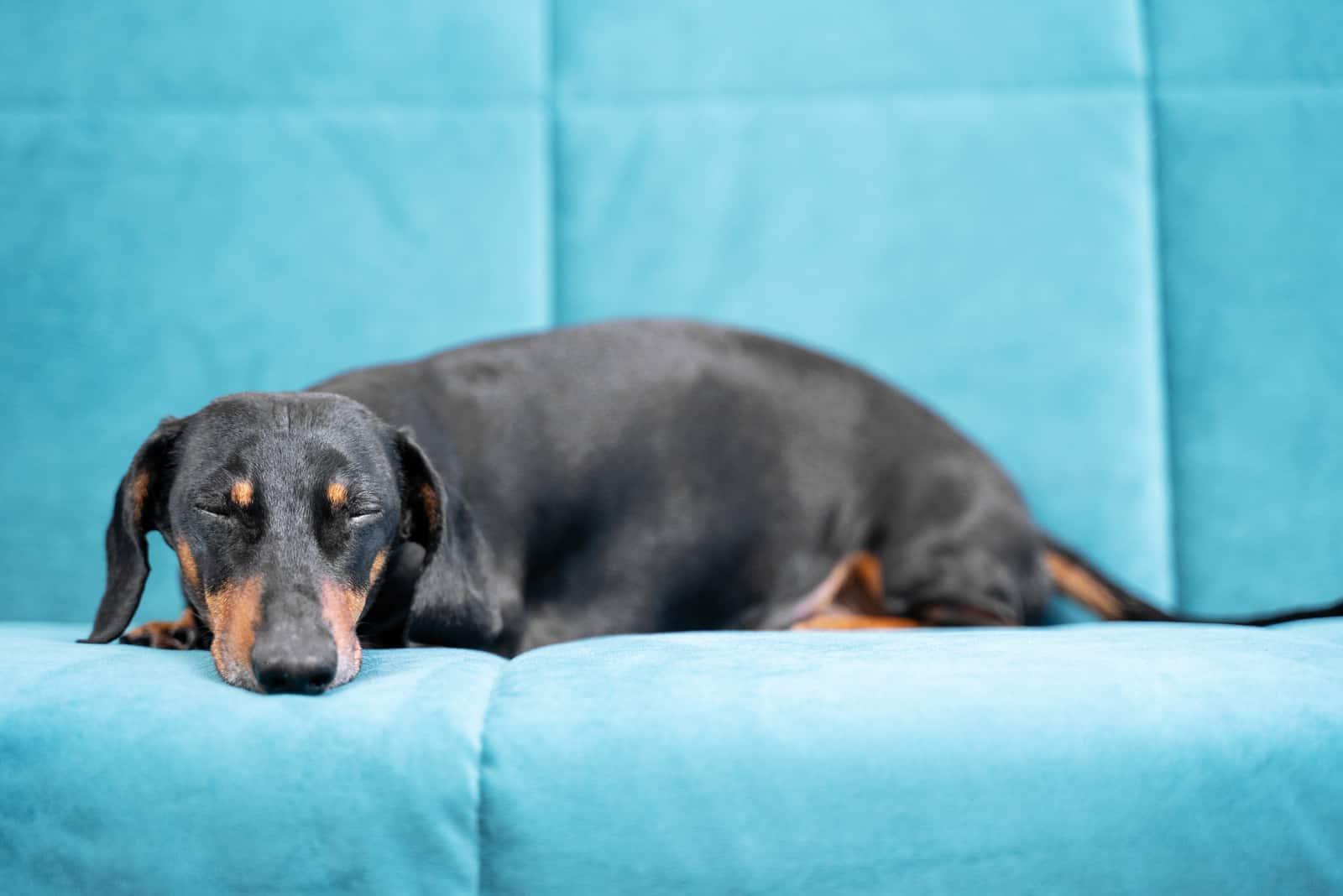 Dachshunds lie on the sofa