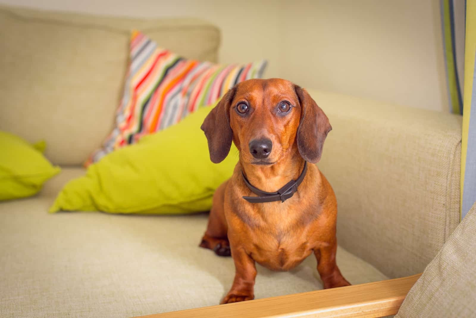 Dachshunds sits on the couch and looks ahead