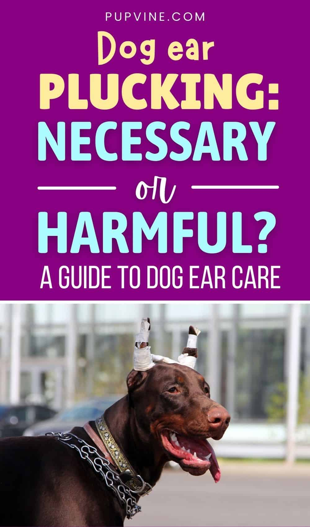Dog Ear Plucking Necessary Or Harmful A Guide To Dog Ear Care
