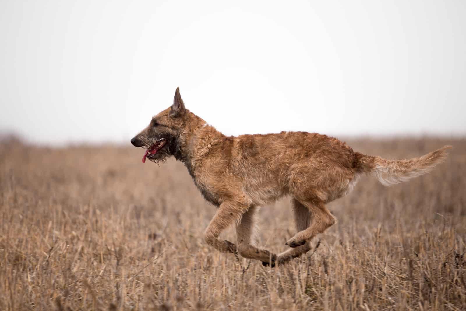 Dog breed Belgian Shepherd Lackenois running in the field