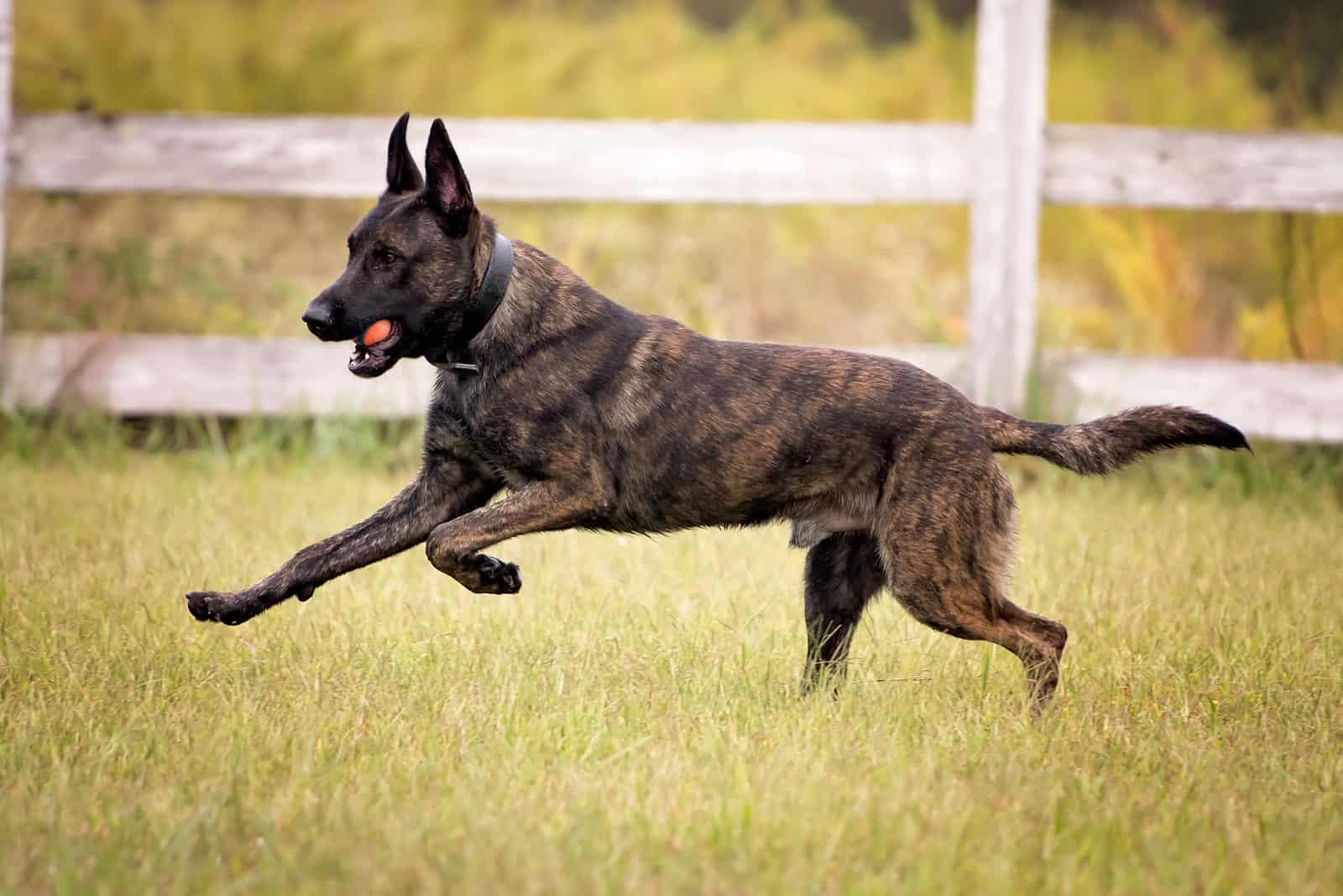 Dutch Shepherd running with a ball