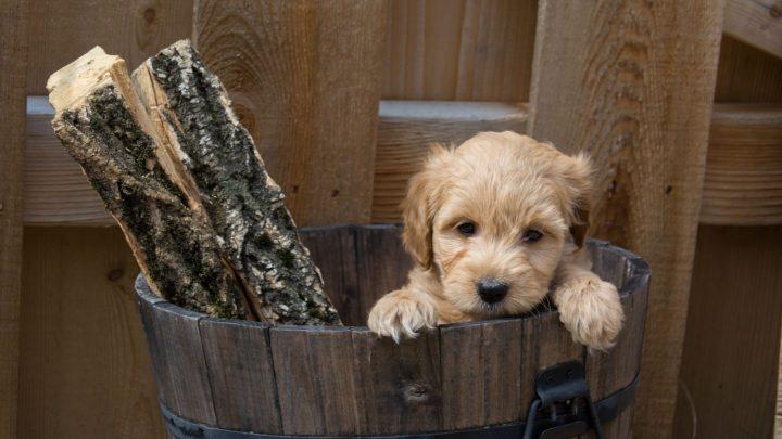 F1b Goldendoodle – Understanding The Golden Retriever Poodle Mix
