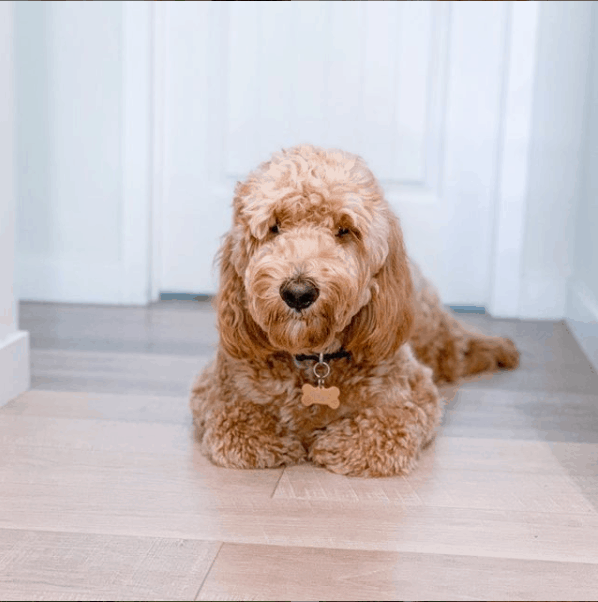 Goldendoodle Puppy sitting on floor