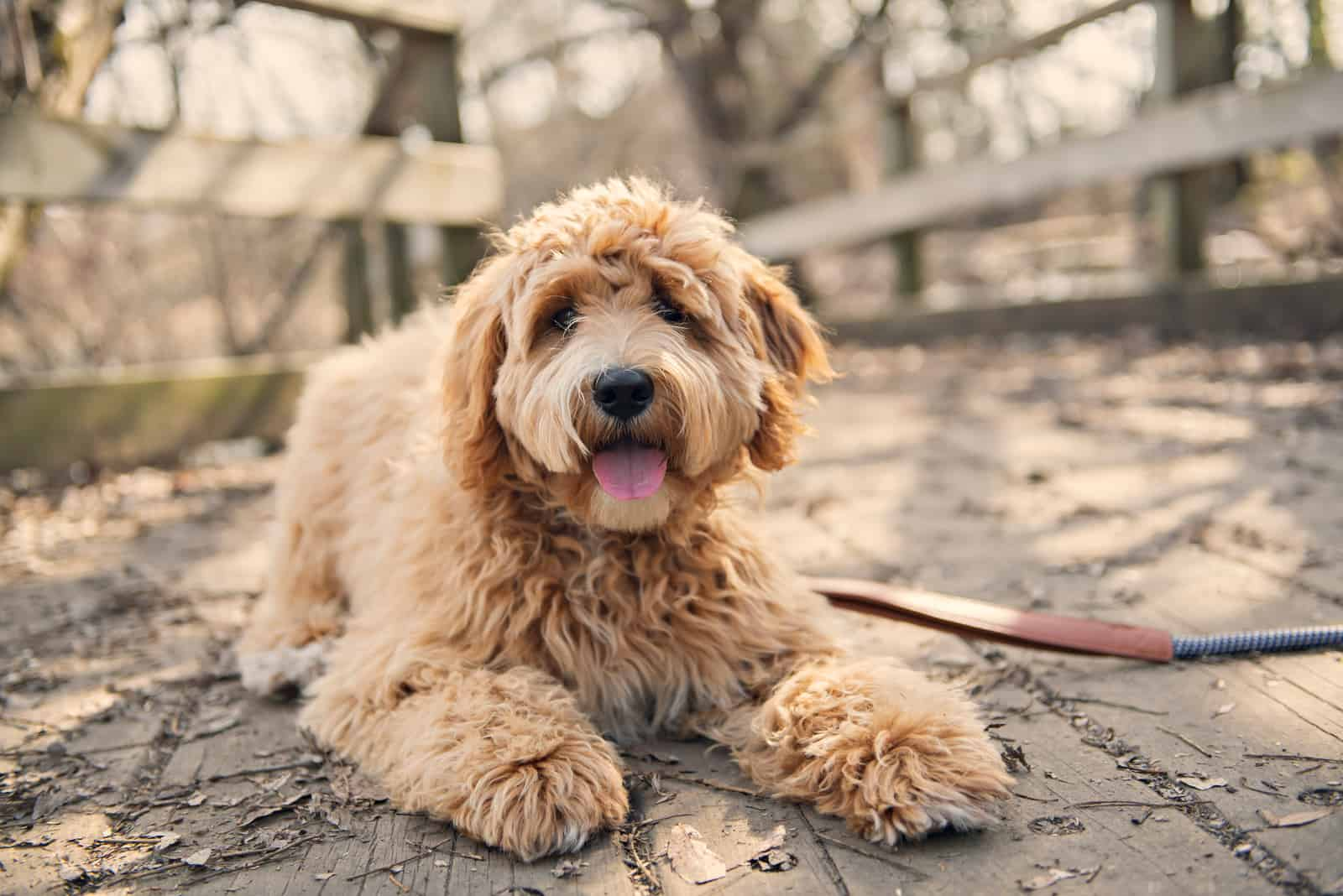 Goldendoodle lies on a wooden base