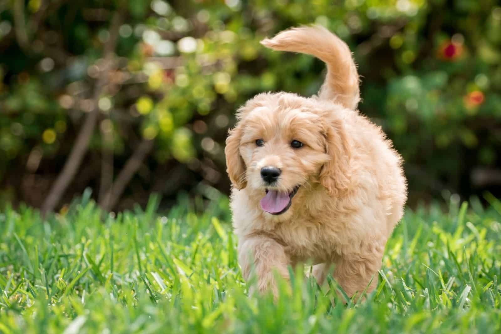 Goldendoodle puppy runs across the field