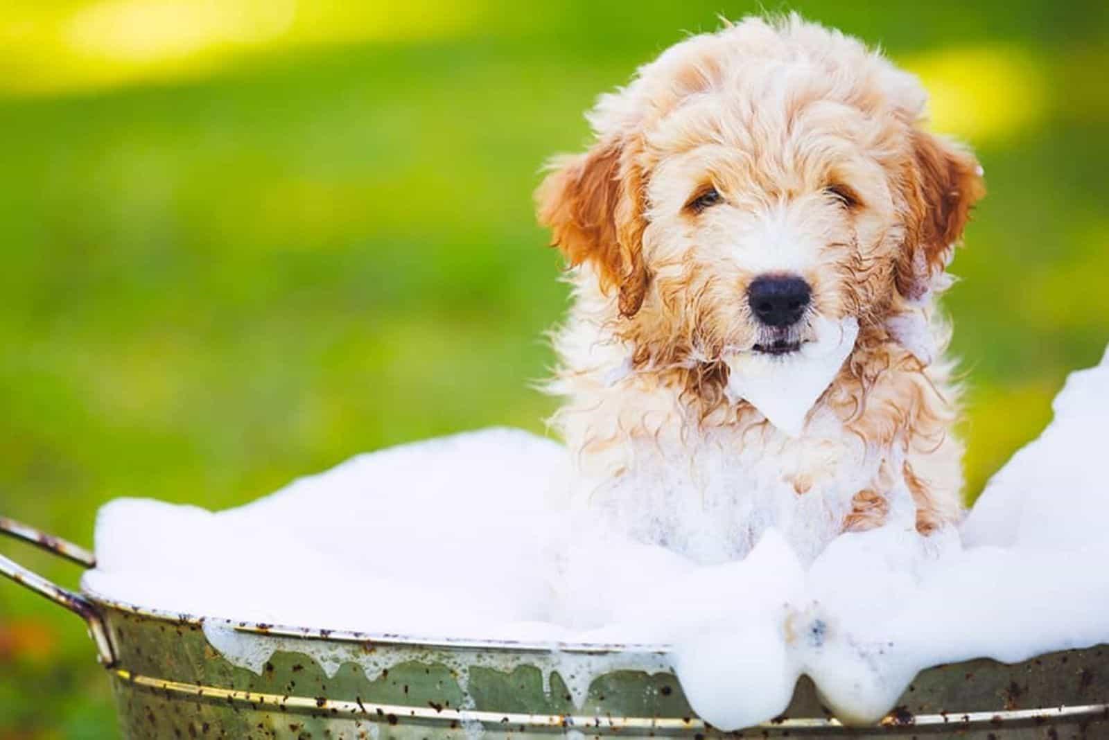 Goldendoodles in a bucket full of foam