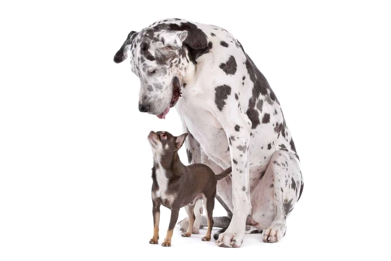 Great Dane Harlequin and a chihuahua standing against a white background
