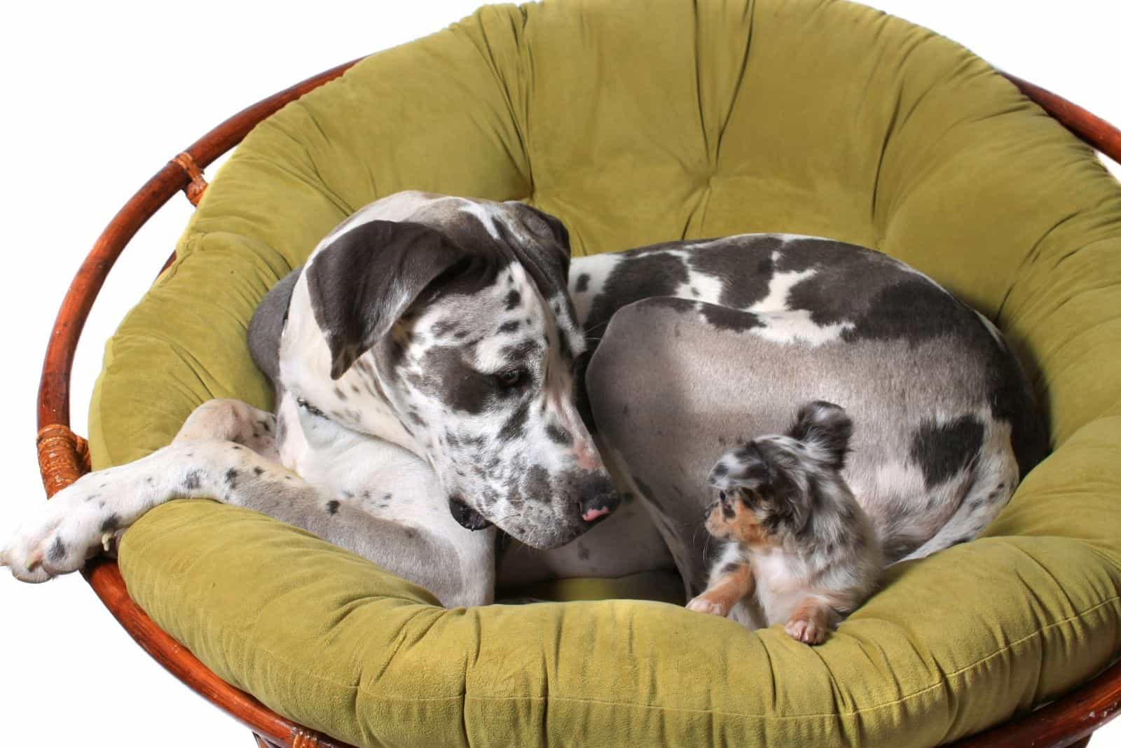 Great Dane and chihuahua dogs looking at each other sitting on a chair against white background