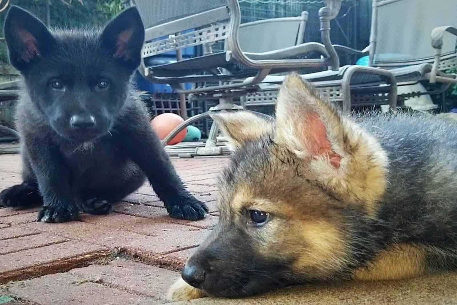 Lycan Shepherd Puppies