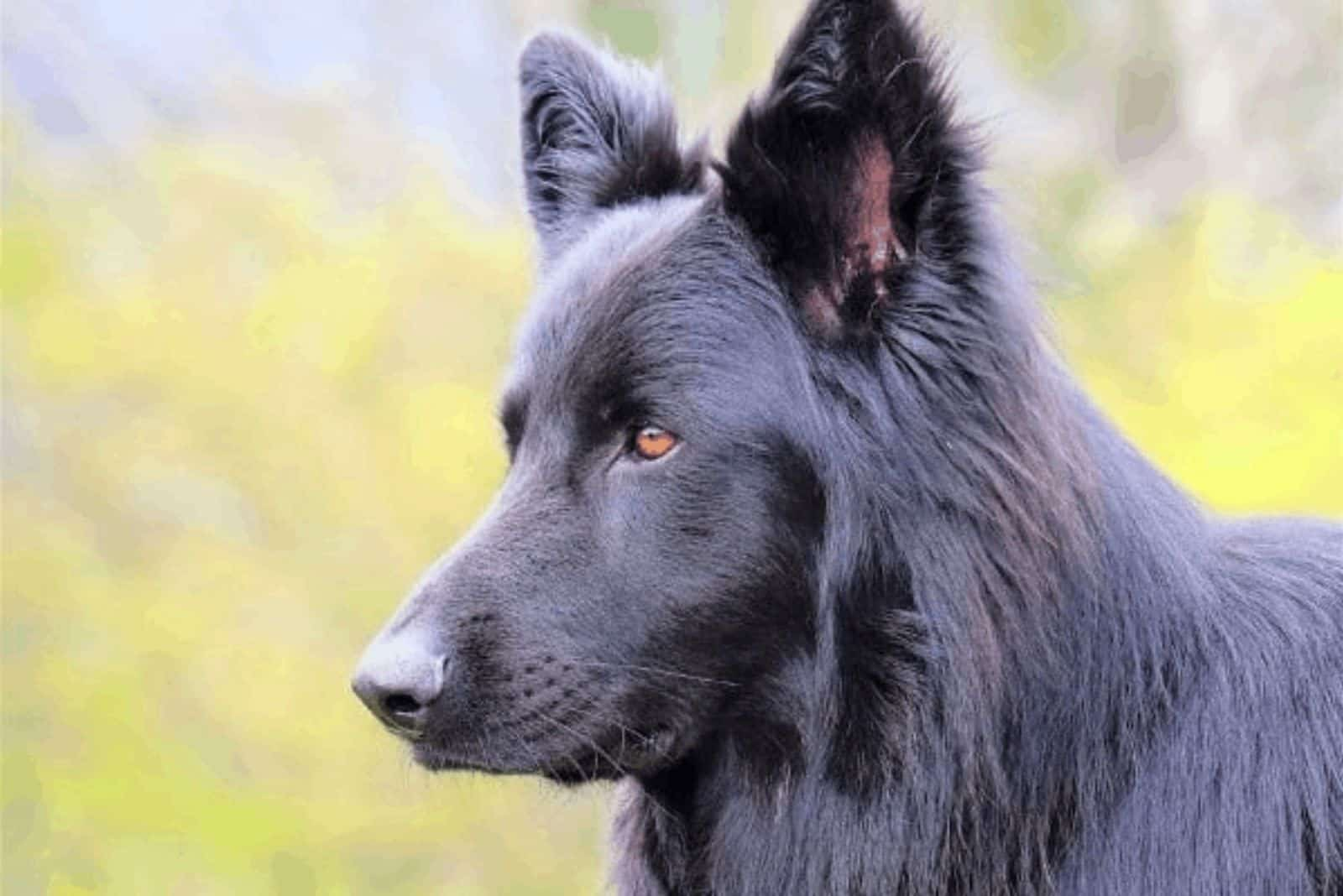 Lycan Shepherd stands and looks in front of him