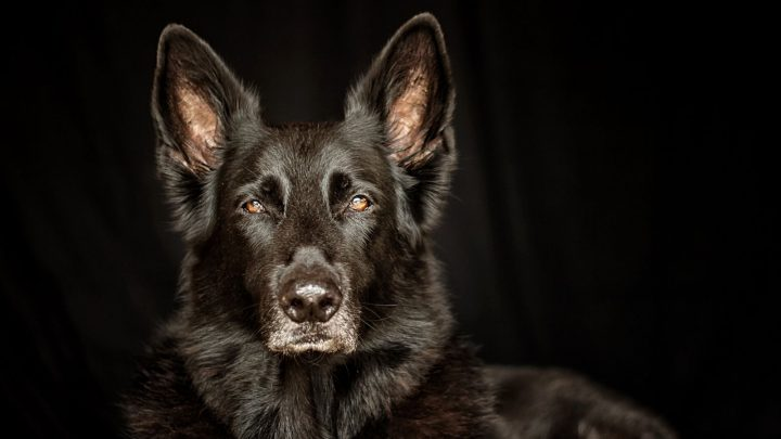 Lycan Shepherd: The Hidden Secret Of The Canine World