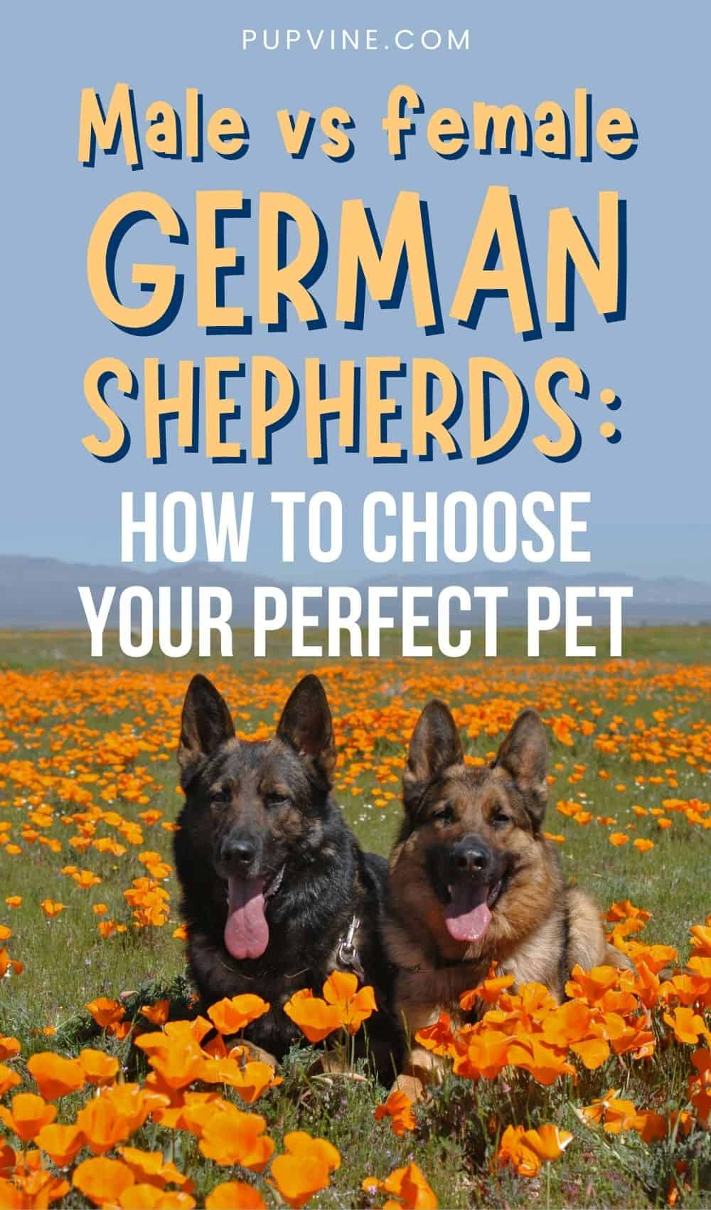 Male Vs Female German Shepherds How To Choose Your Perfect Pet
