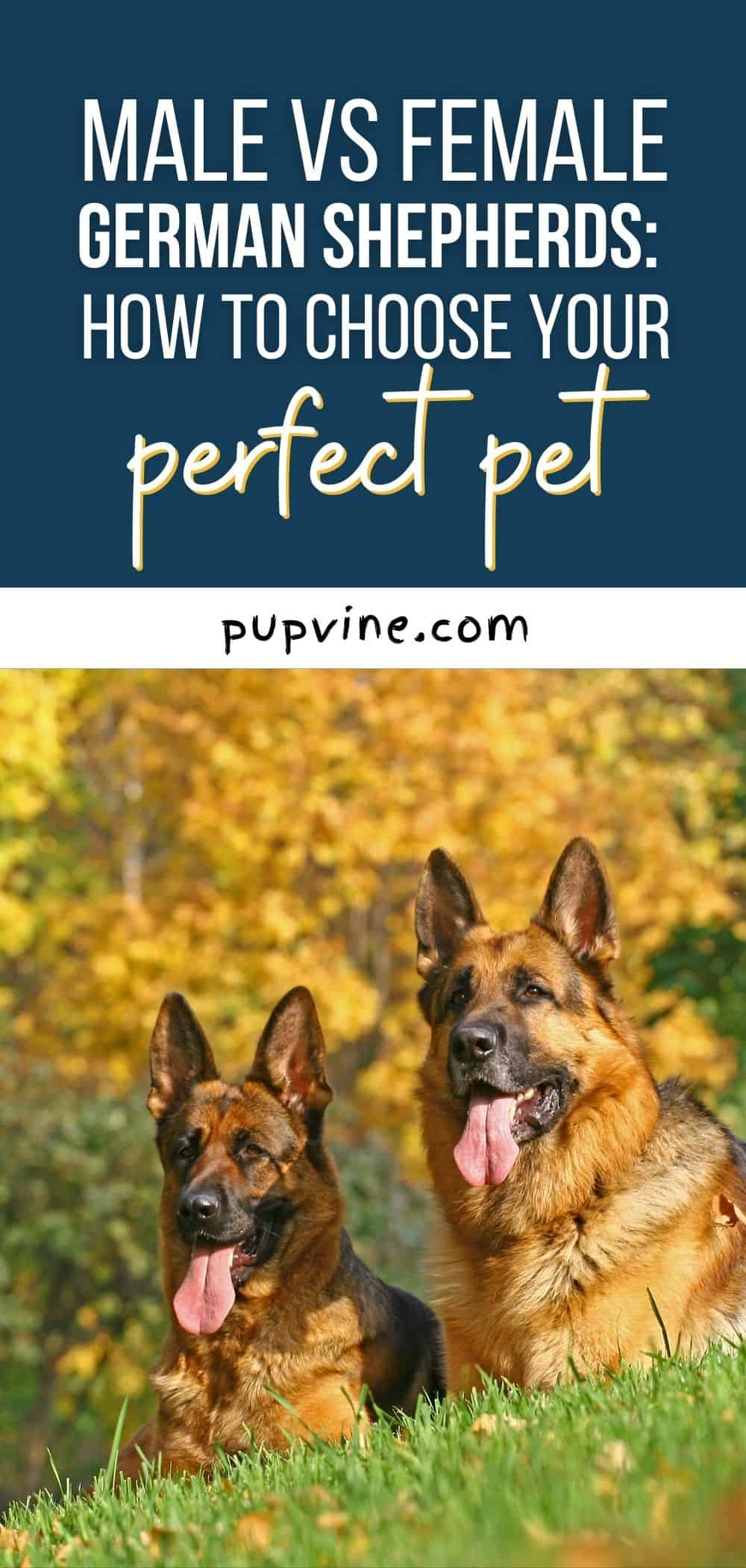 Male vs Female German Shepherds: How to Choose Your Perfect Pet