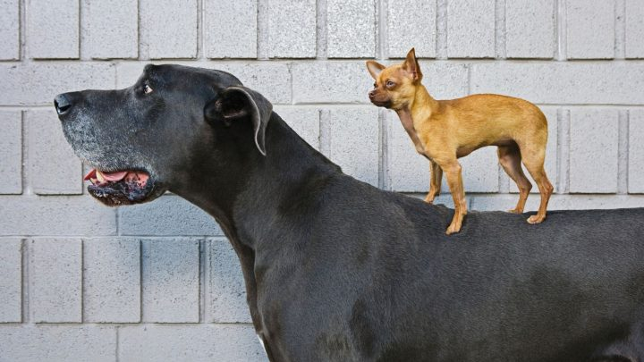 Meet the Great Dane – Chihuahua Mix: Breed Overview and Care