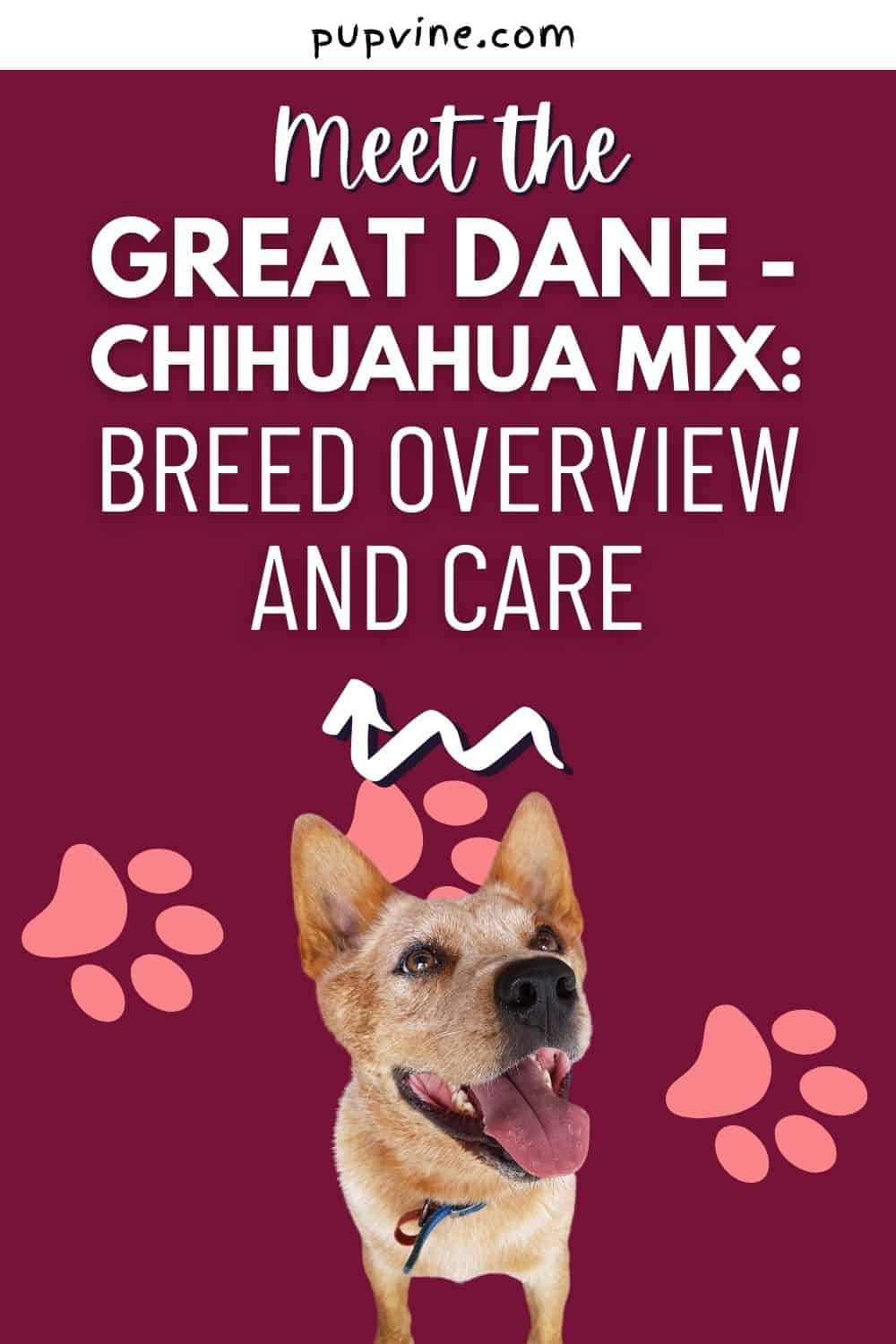 Meet the Great Dane - Chihuahua Mix: Breed Overview and Care