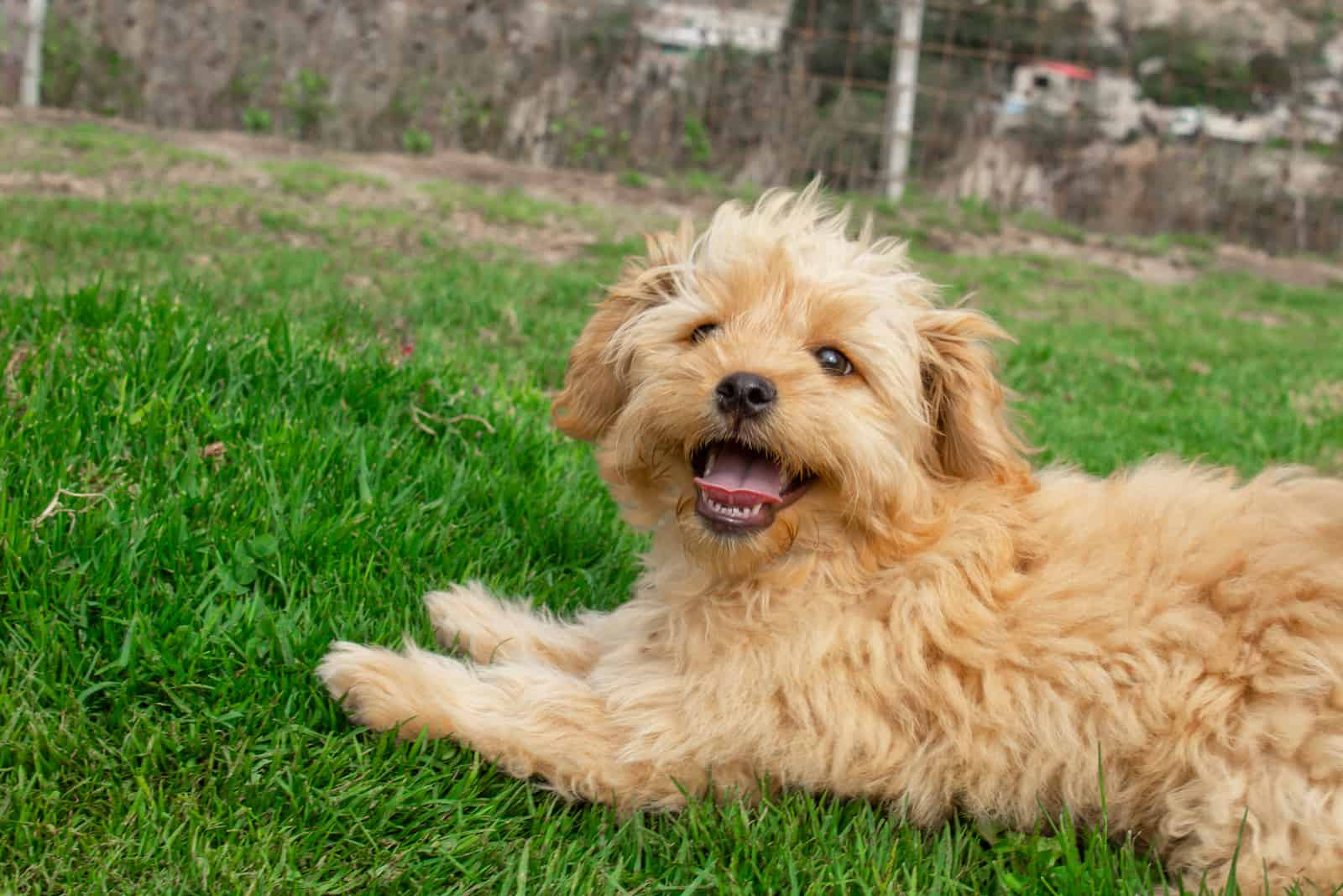 Mini Goldendoodle puppy dog walks outdoors on a green lawn