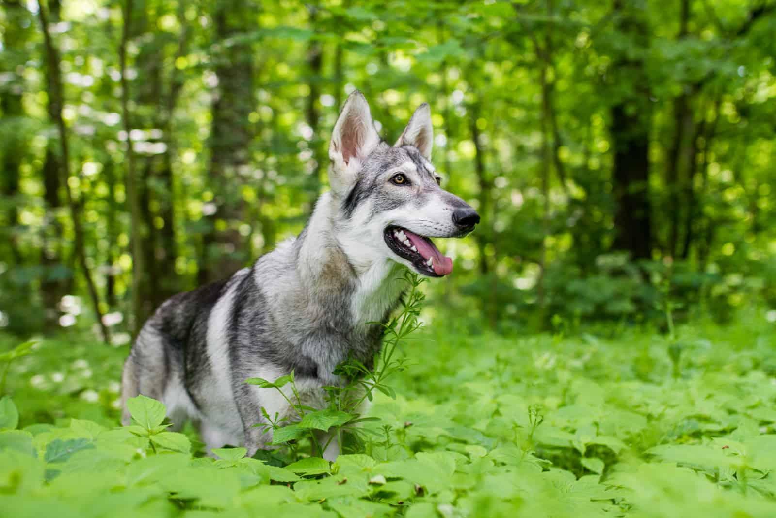 Northern inuit dog walks through the woods