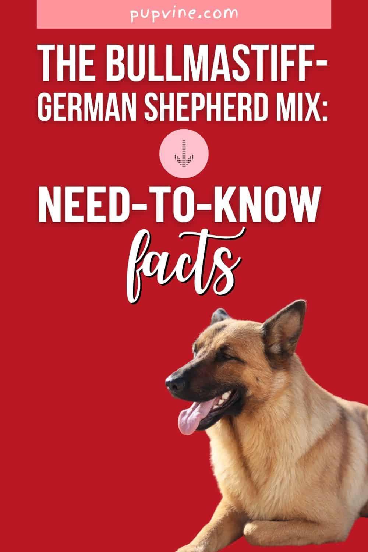 The Bullmastiff - German Shepherd Mix: Need-To-Know Facts