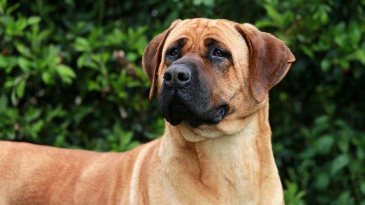 The Bullmastiff –  German Shepherd Mix: Need-To-Know Facts