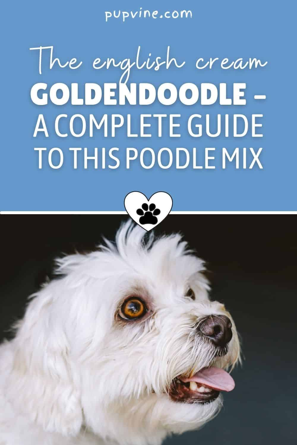 The English Cream Goldendoodle – A Complete Guide To This Poodle Mix