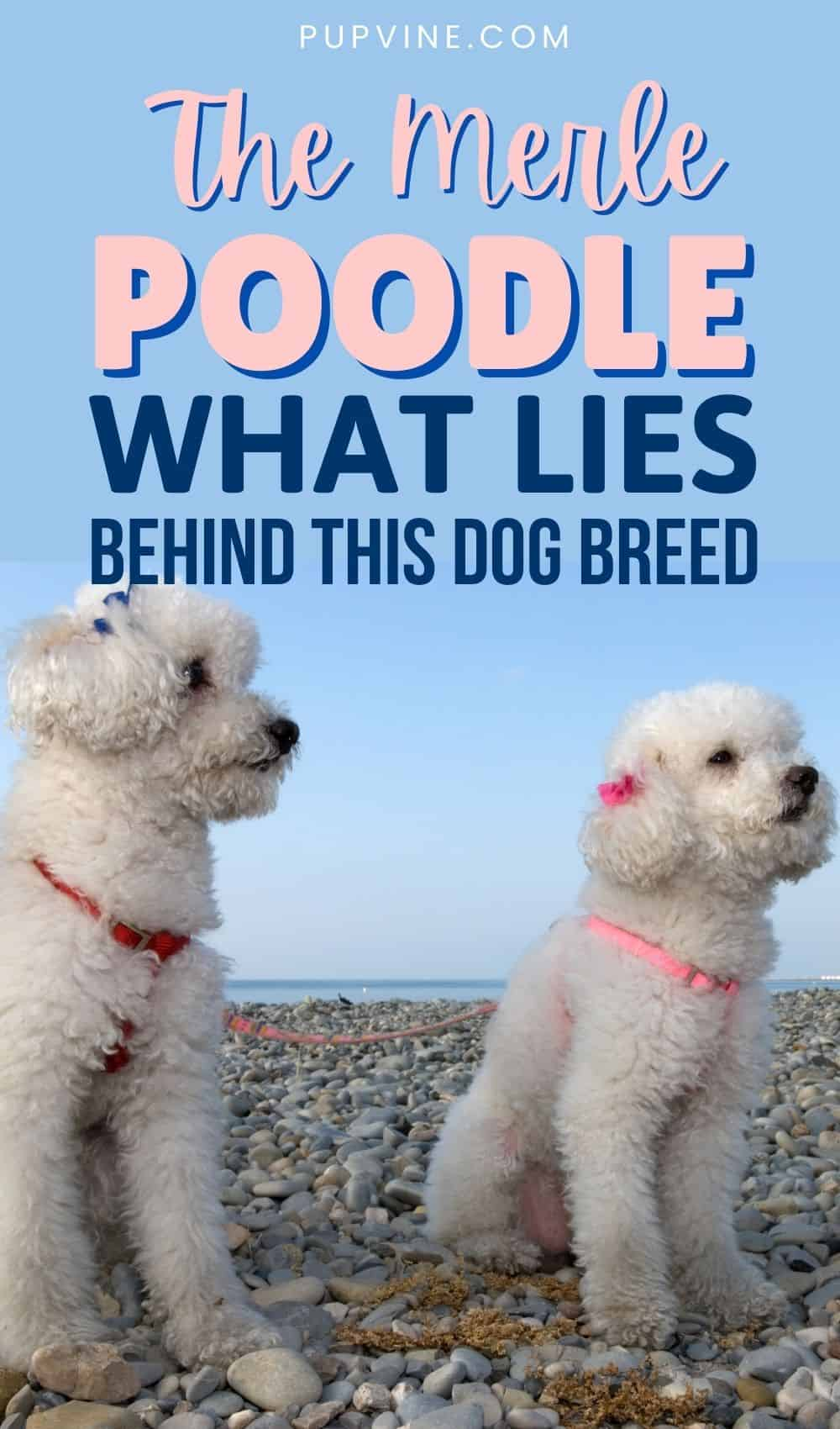 The Merle Poodle What Lies Behind This Dog Breed