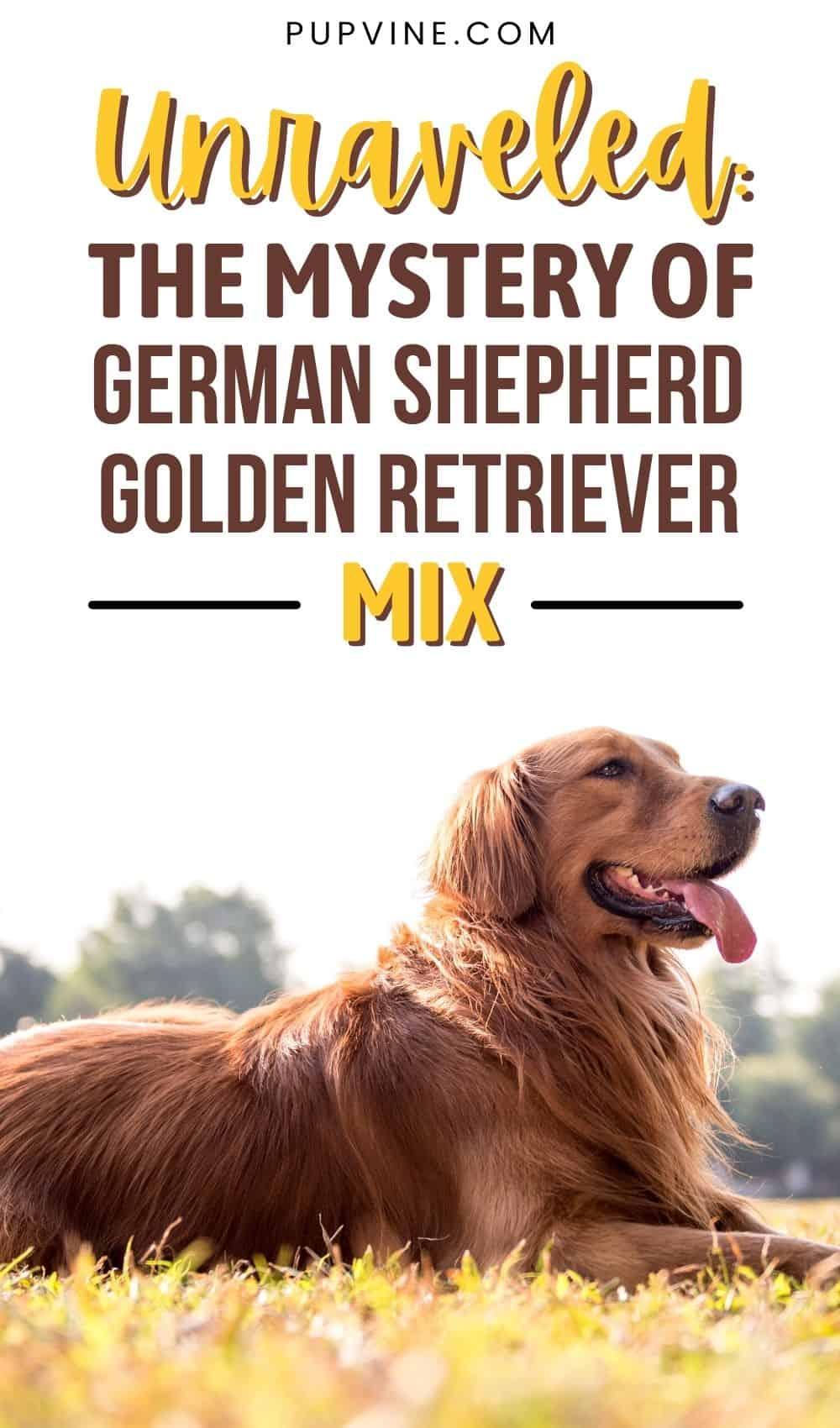 Unraveled The Mystery Of German Shepherd Golden Retriever Mix