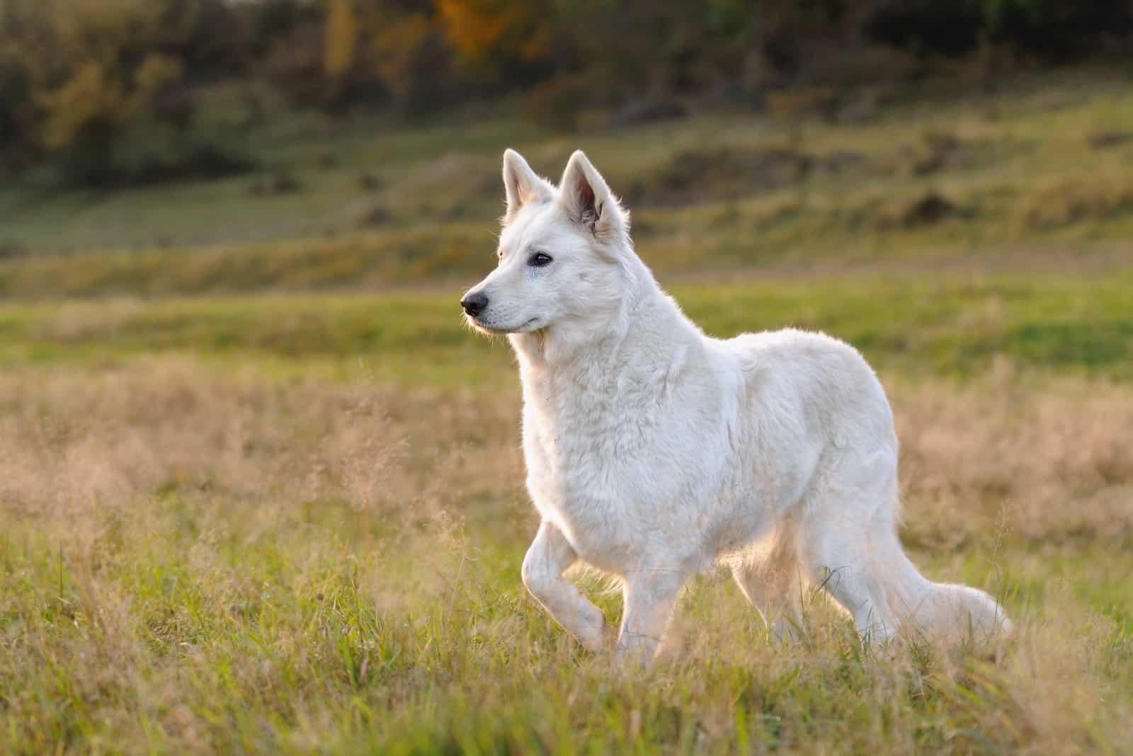 White Shepherds walks the field