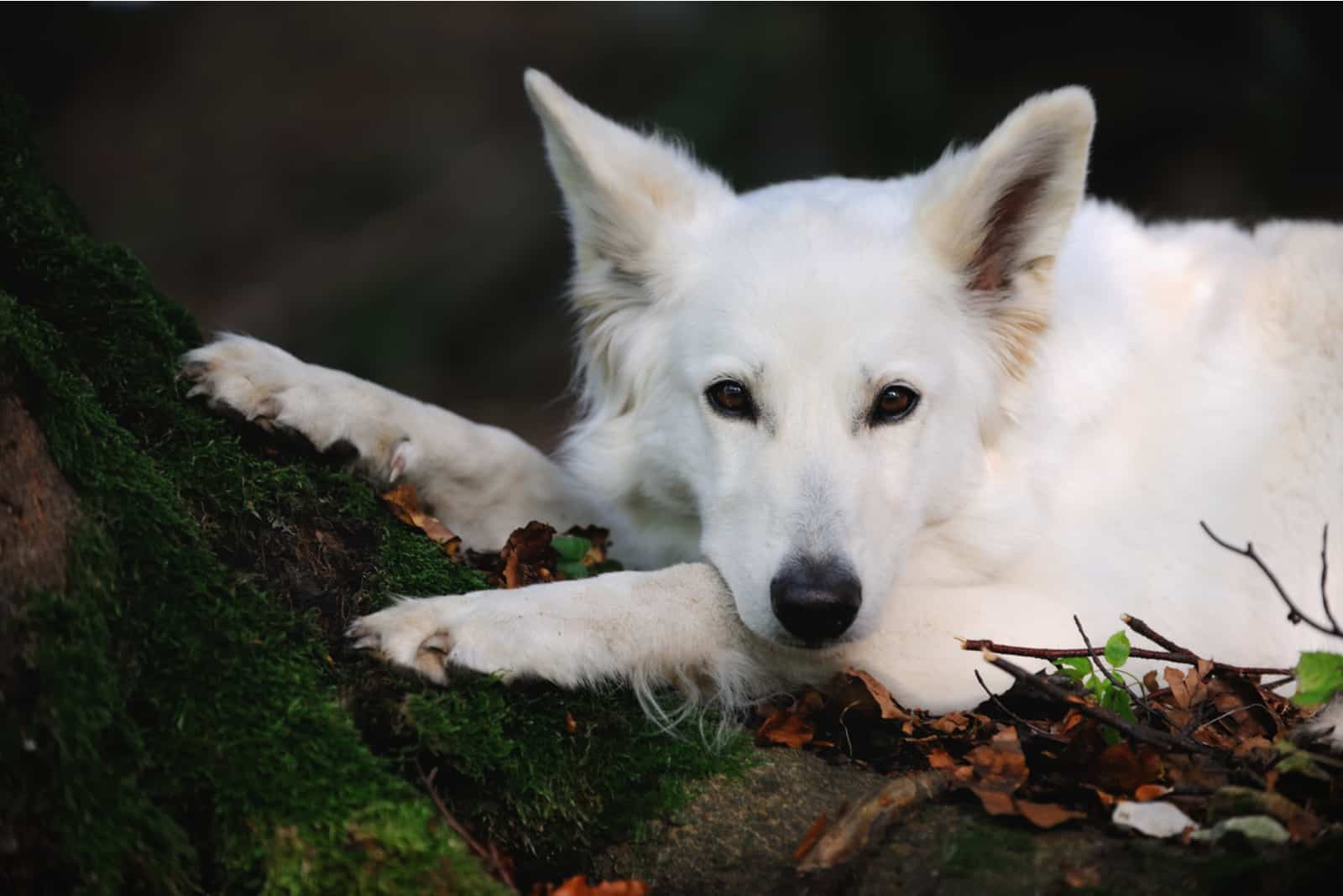 White Swiss Shepherd Dog lies in a forest on a tree